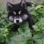 Adorable Alusky Puppy Hiding In A Garden Poster