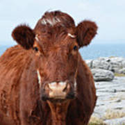 Adorable Brown Cow Standing On The Burren Poster
