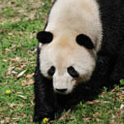 Adorable Face Of A Black And White Giant Panda Bear Poster