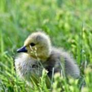 Adorable Goose Chick Poster
