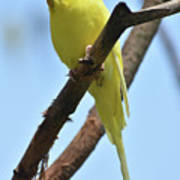 Adorable Little Yellow Parakeet In A Tree Poster