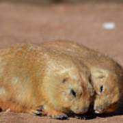 Adorable Pair Of Prairie Dogs Cuddling Together Poster