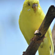 Adorable Yellow Budgie Parakeet Bird Close Up Poster