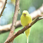 Adorable Yellow Budgie Parakeet Relaxing In A Tree Poster