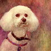 Adoration - Portrait Of A Bichon Frise  Poster