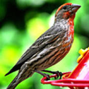 Adult Male House Finch Poster