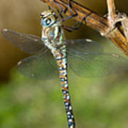 Aeshna Mixta Dragonfly Poster