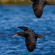 African Black Oystercatchers Poster