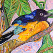 African Blue Eared Starling Poster
