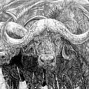 African Cape Buffalo Poster