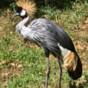 African Crowned Crane Poising Poster