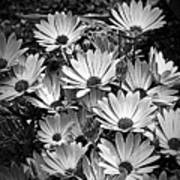 African Daisies In Black And White Poster