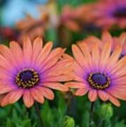 African Daisy Twins Poster