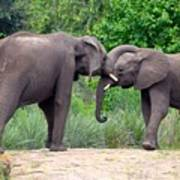 African Elephants Interacting Poster
