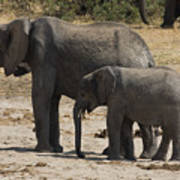 African Elephants Mother And Baby Poster