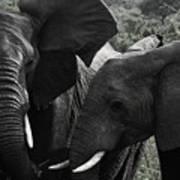 African Elephants Poster