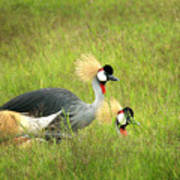 African Gray Crown Crane Poster