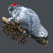 African Grey Parrot A Poster