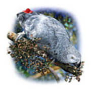 African Grey Parrot A1 Poster