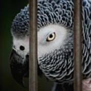 African Grey Poster by Robert Meanor