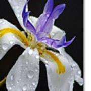 African Iris Poster