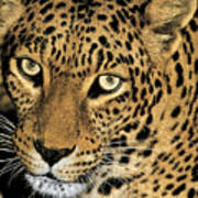 African Leopard Panthera Pardus Captive Wildlife Rescue Poster