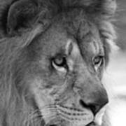 African Lion #8 Black And White Poster