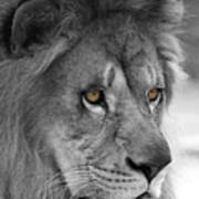 African Lion #8 Black And White  T O C Poster