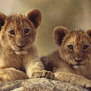 African Lion Cubs Resting On A Rock Poster