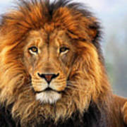 African Lion 1 Poster