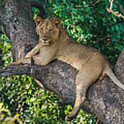 African Lion Panthera Leo On Tree, Lake Poster