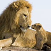 African Lion Panthera Leo Seven Poster