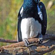 African Trumpeter Horbill Bird Poster