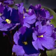 African Violets Poster