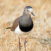 African Wattled Lapwing Vanellus Poster