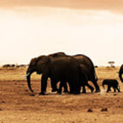 African Wild Elephants Poster