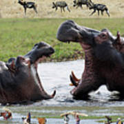 African Wildlife Montage - Hippos Poster