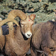 After The Rut Bighorn Sheep Poster