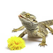 Agama And Dandelion  Poster