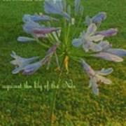 Agapanthus Dawn Poster
