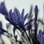 Agapanthus - Love Flower -2  Poster