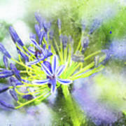 Agapanthus Perfection Poster