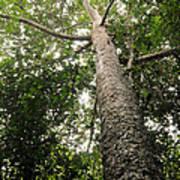 Agathis Borneensis Tree Poster