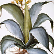 Agave, 1613 Poster