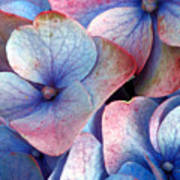 Ageing Hydrangea Poster