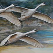 Ahead Of The Storm - Trumpeter Swans On The Move Poster