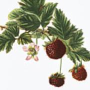 Akala Berries Poster
