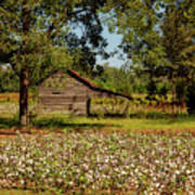 Alabama Cotton Field Poster