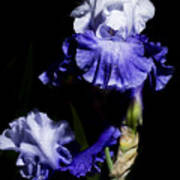 Alaskan Seas Iris  Poster