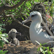 Albatross Mom And Baby Poster